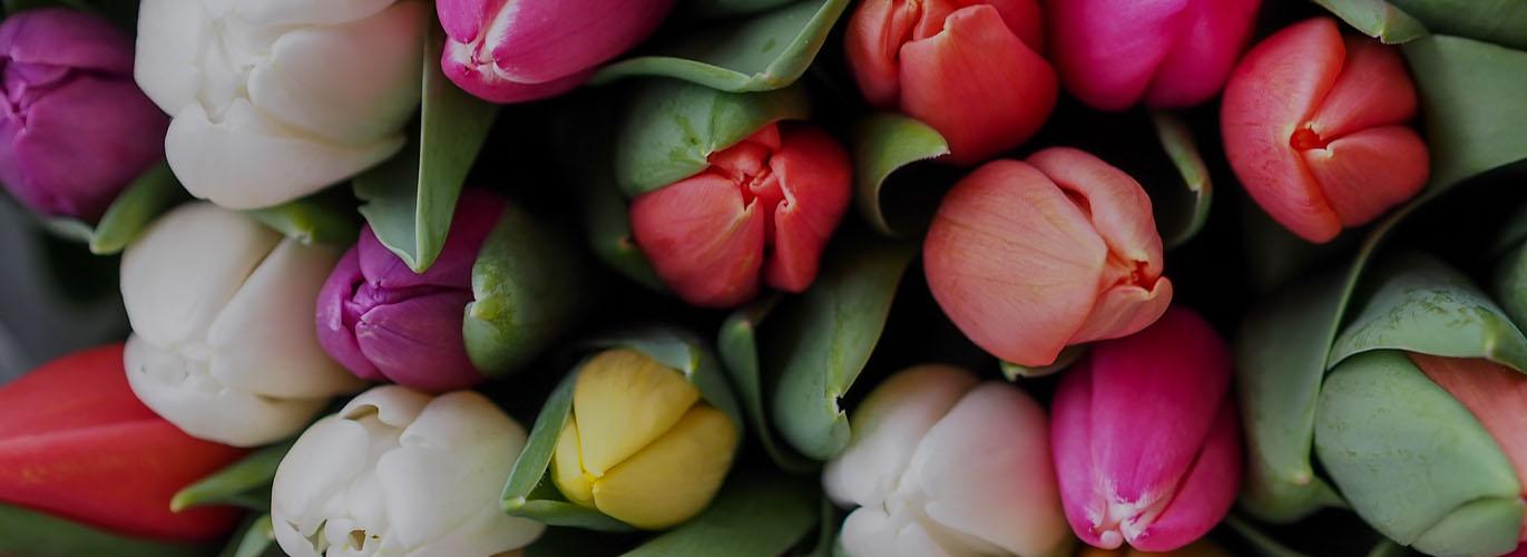 -Tulipany już dostępne-